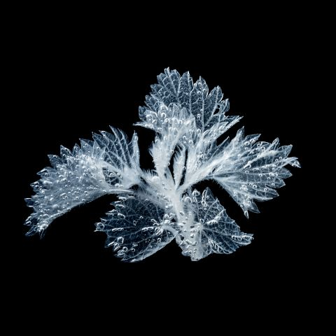 Ice flowers - Nælle